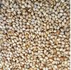 Picture of Sesame Seed